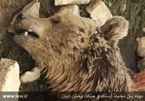 کشته شدن خرس قهوه ای در کرمانشاه به طرز بیرحمانه ای+ تصاویر