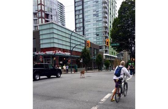 گشت و گذار یک بچه آهوی زیبا در خیابان های شهر + تصاویر