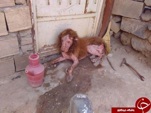 پیدا شدن حیوانی عجیب شبیه شیر در شهرستان ملایر +عکس
