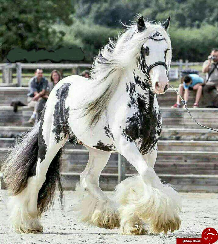 ثبت زیباترین اسب جهان در کتاب رکوردهای گینس + عکس