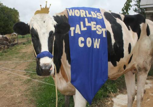 مرگ بلندتر قد ترین گاو دنیا +عکس