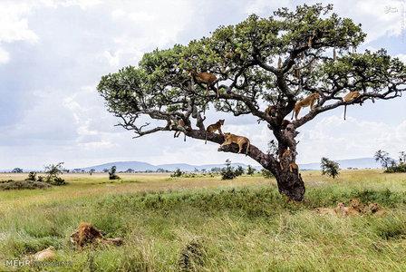 یک درخت پُر از شیر + تصاویر