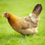 کدام مرغها را نباید بخریم؟