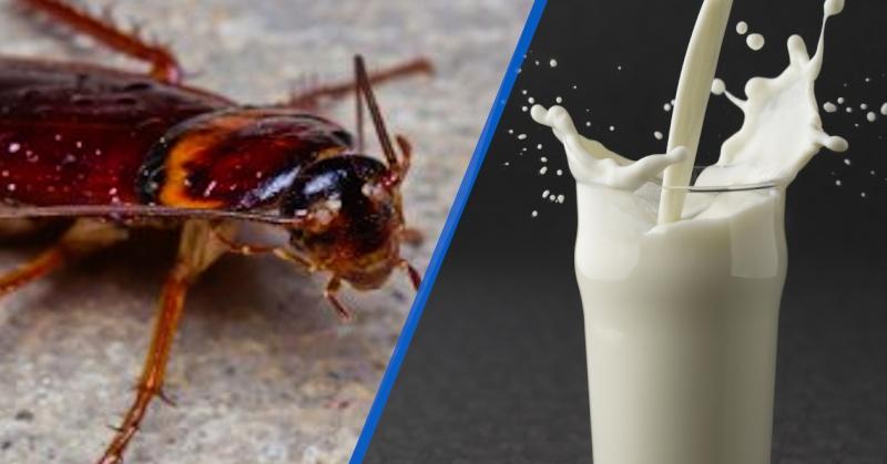 شیر حشرات منبع فرآورده های لبنی