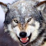 حمله گرگ به کودک 3 ساله وبه کما رفتن کودک