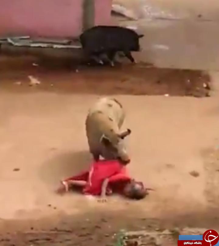 حمله مرگبار دو خوک خشمگین به زن ۶۰ ساله