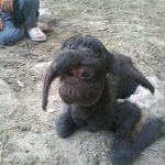 تولد بره عجیبالخلقه در روستای نخودآباد