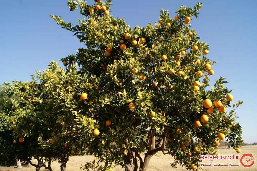 درختی با میوه الکلی