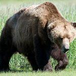 خرس، چوپان نوجوان را درید