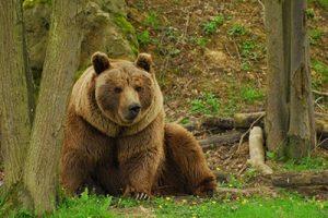 حمله خرس قهوهای به کندوهای عسل