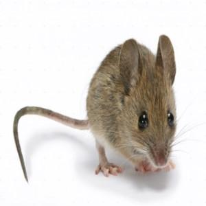عکس های آتلیه ای از موشها!