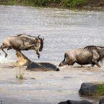 لحظه شگفت انگیز پرش گاو وحشی از روی آرواره تمساح