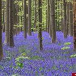 جنگلی رویایی مملو از گل های آبی رنگ