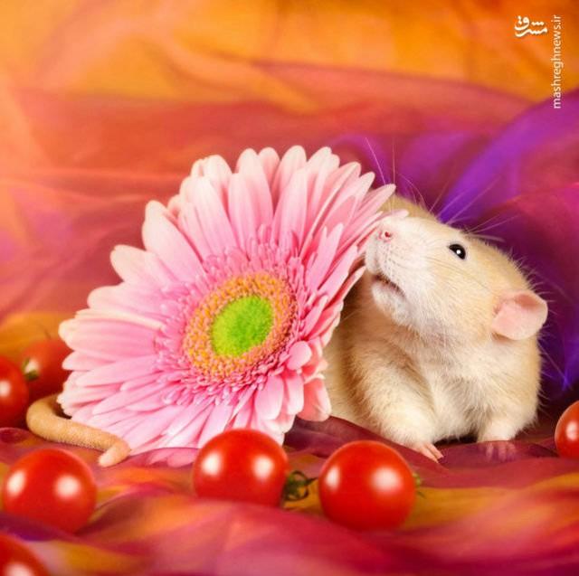 گرفتن عکس آتلیه ای از موش