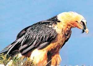 پرنده ریش داری که آرایش میکند
