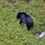 حمله خرس به یک کوهنورد در مانشت ایلام