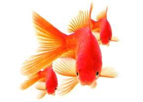 یک ماهی شگفت انگیز ازجنس طلای ۲۴ عیار