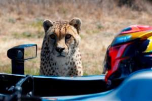 یوزپلنگ در مسابقه سرعت حریف خودرو نشد!