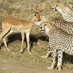 صحنه عجیب در حیات وحش و غافلگیری شکارچى