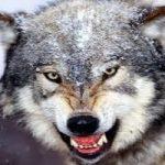 «مرد گرگی» که ۹۸ درصد بدنش را مو پوشانده است