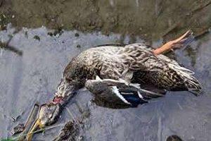مشاهده ۳ لاشه پرنده مبتلا به آنفلوانزا در چیتگر
