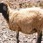 گوسفند عجیبی که ۶ سال در یک غار پنهان بود!