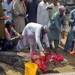 ضیافتی بزرگ برای تمساح ها در جشنواره شیدی در پاکستان