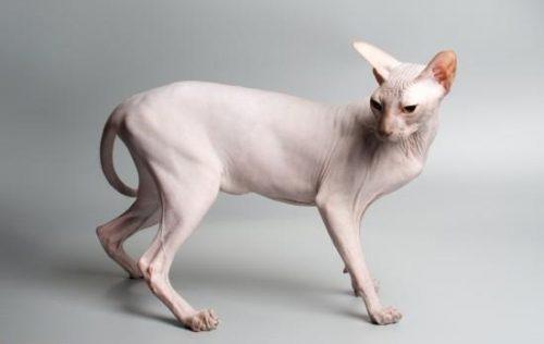 گربه شیطانی