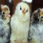 صدها تخممرغ دور ریختنی در مرکز زباله جوجه شد !