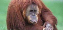 مرگ پیرترین اورانگوتان دنیا در سن ۶۲ سالگی