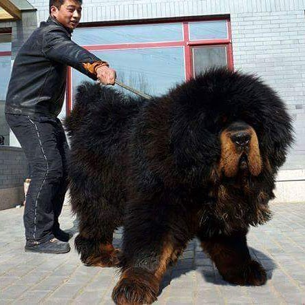 بزرگترین سگ دنیا