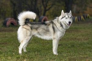 گرانترین، بزرگترین و قویترین سگ دنیا که با دیدن آن تعجب می کنید