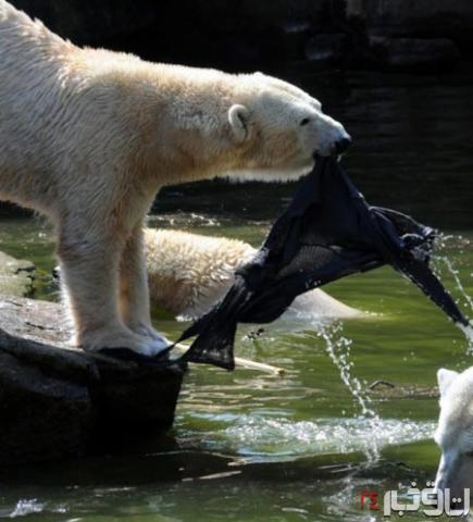 حمله خرس ها به زن
