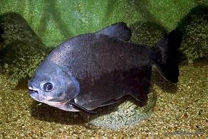 شباهت عجیب دندان های ماهی پاکو به انسان