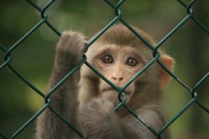 ماجرای عجیب میمون بچه دزد