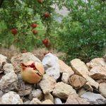 فصل برداشت انار در روستای اورامان