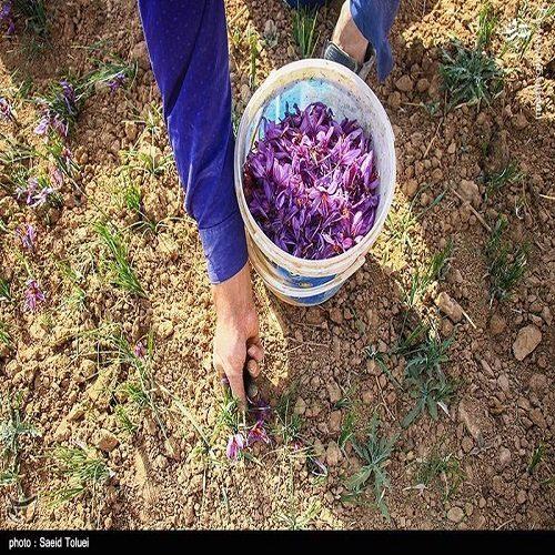 تصاویری از برداشت زعفران در شهرستان فاروج