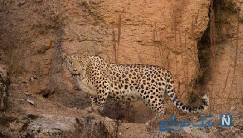 پلنگ ایرانی در حال انقراض
