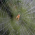 تصویری از عنکبوت جالبی که به نوزادش شیر میدهد