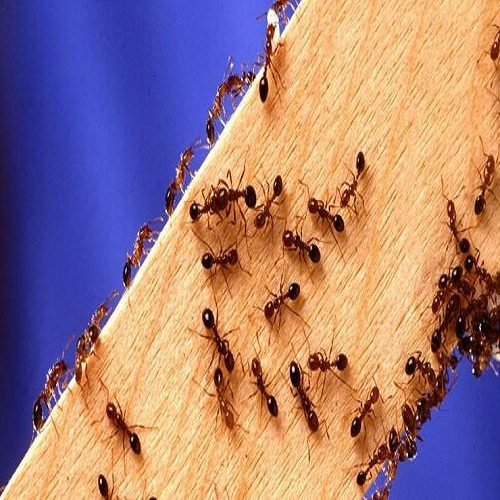 تصاویری از مورچه دراکولا ؛ سریع ترین حیوان روی زمین
