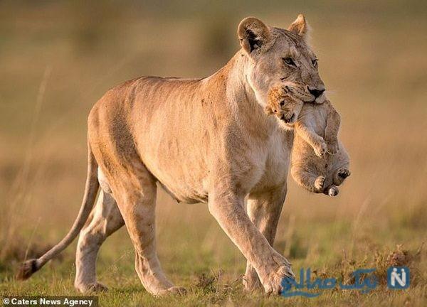بلعیدن سر یک توله شیر توسط مادرش سوژه عکاسان شد!