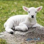 تصویری از تولد گوسفند عجیب الخلقه در بیرجند