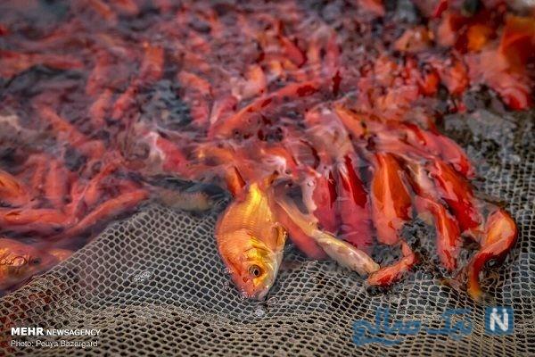 تصاویری از مزرعه ای برای پرورش ماهی قرمز هفت سین