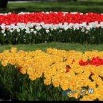 تصاویری زیبا و دیدنی از جشنواره گل های پیازی مشهد