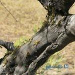 تصاویری از هجوم ملخ های صحرایی به هرمزگان