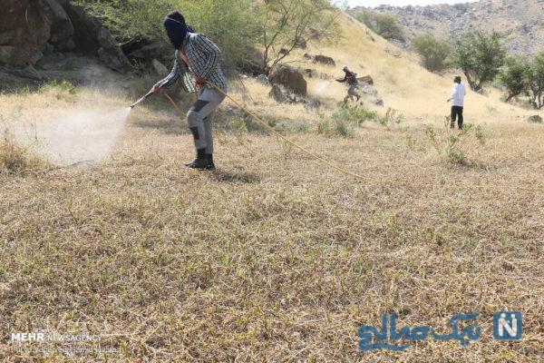 هجوم ملخ های صحرایی