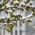 تصاویری جالب از چهره زمستانی بهار در اردبیل