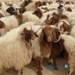 ماجرای گوسفندهای وارداتی دم دار