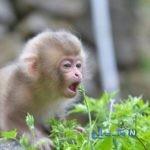 تصاویری جالب از میمون ماکاک که دندانپزشک شده است