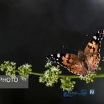 هجوم پروانه های زیبا به تهران | آیا خطرناک هستند؟